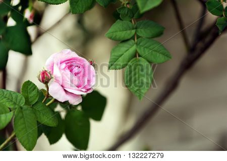 Blooming roses and buds on a bush in the garden