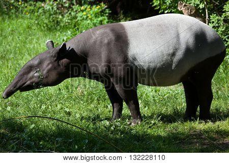 Malayan tapir (Tapirus indicus), also called the Asian tapir. Wildlife animal.