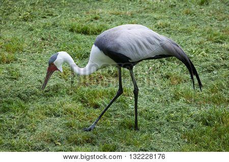 Wattled crane (Bugeranus carunculatus). Wildlife animal.