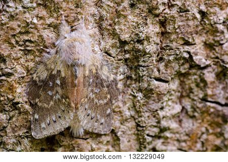 Lobster moth (Stauropus fagi) at rest on bark. British nocturnal insect in the family Notodontidae at rest with wings held in distinctive posture