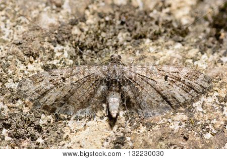 Mottled pug moth (Eupithecia exiguata). British insect in the family Geometridae the geometer moths at rest on rock