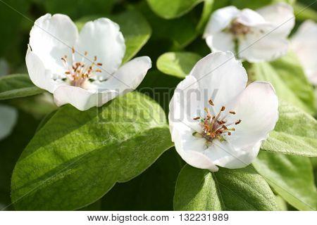 Beautiful quince flowers closeup