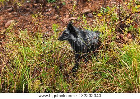 Silver Fox (Vulpes vulpes) Sits on Shore - captive animals