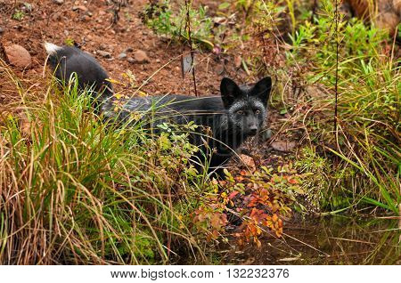Silver Fox (Vulpes vulpes) Looks Out from Shore - captive animal