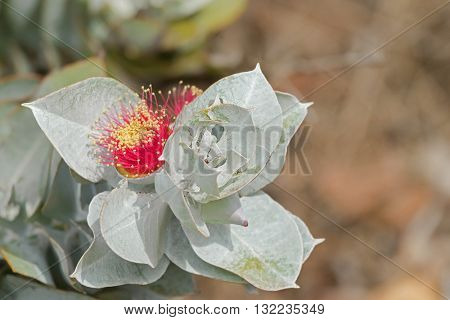 Closeup photo of Mottlecah (Eucalyptus macrocarpa) flower in red with silver grey leaves in Autumn, South Australia