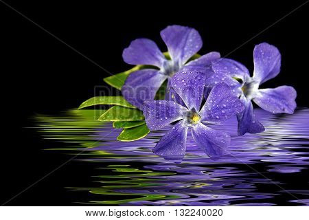Purple myrtle flower in rippled water reflection on black