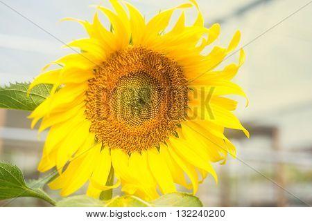 Sunflower on sunny field closeup photo,blooming, beautiful sunflower