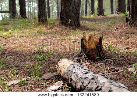 Pine tree in forrest and deducted felling.