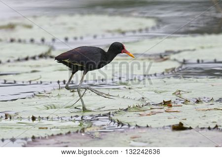 Wattled Jacana Walking On A Lily Pad - Panama