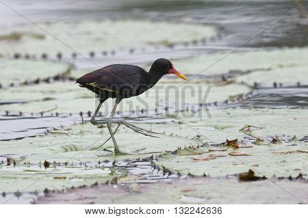 Wattled Jacana Walking On A Lily Pad - Panama