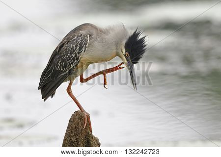 Striated Heron Scratching Its Head - Panama