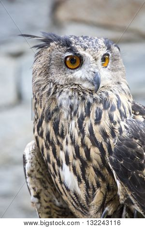 Portrait Of An Eurasian Eagle-owl