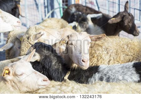 Domestic Sheeps In The Sheepfold