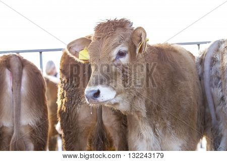 Young Calf In The Fence