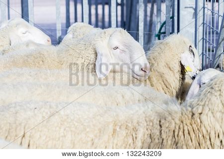 Flock Of Domestic Sheeps