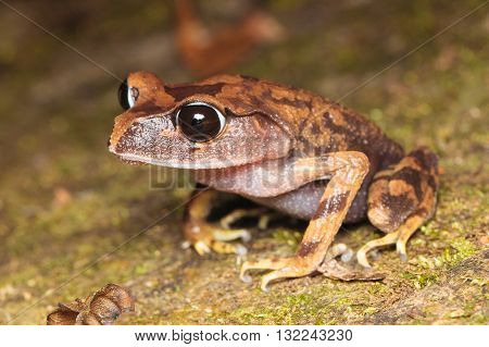 Kinabalu Large-eyed Litter Frog (Leptobrachium gunungense) from Kinabalu National Park