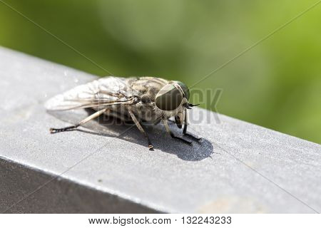 Macro View Of A Horsefly