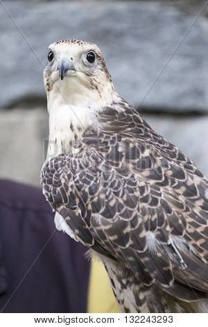Saker Falcon Looking At Camera