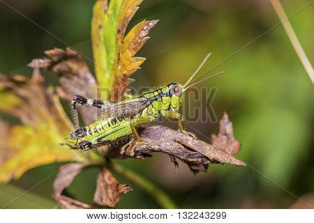 Cricket On A Sear Leaf
