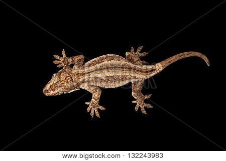 Top view of Gargoyle Gecko Rhacodactylus auriculatus staring Isolated on black background. Native to New Caledonia