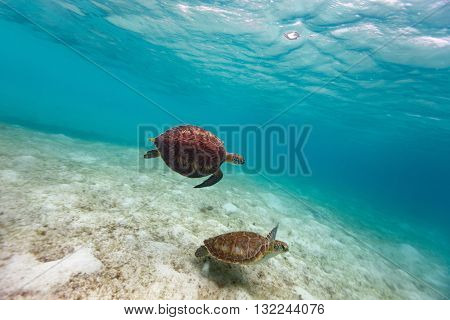 Hawksbill sea turtles swimming in tropical ocean
