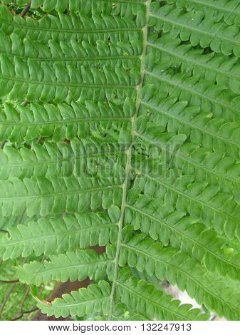 natural green leaf of fem texture closeup
