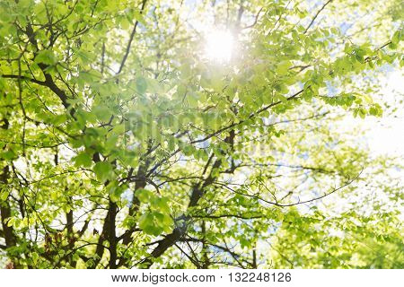 nature, botany and flora concept - close up of tree branches with fresh green leaves in spring garden