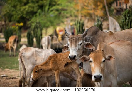 Cow Family country farm animal mammal Thailand