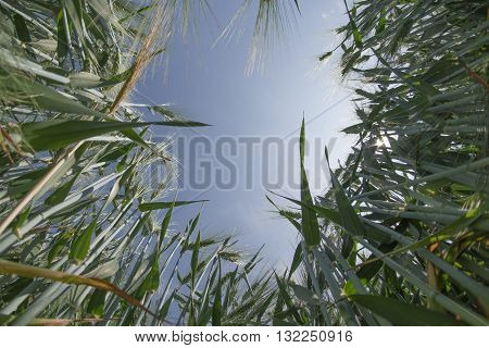 Low angle view of a barley field against sky in background