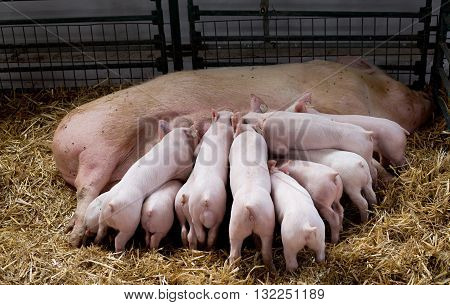 Sow With Piglets Nursing