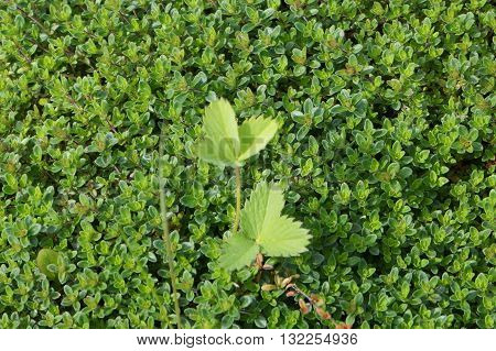 evergreen boxwood as a soil covering, beautiful greens, wild strawberry leaves on the carpet