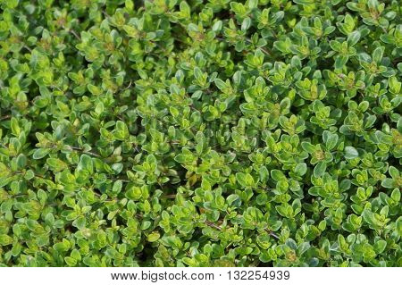 evergreen boxwood as a soil covering, beautiful greens