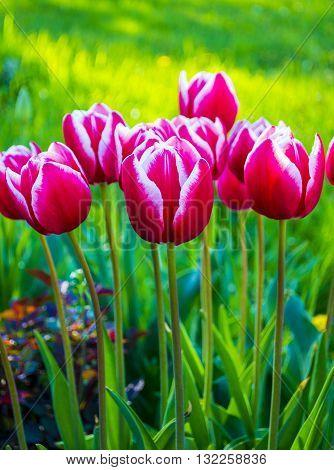 Tulip. Beautiful bouquet of tulips. colorful tulips. tulips in springcolourful tulip.Flowers tulips.