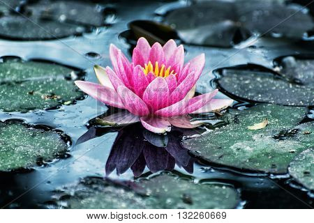 Beautiful purple water lily - Nymphaeaceae - in the garden pond. Cool blue photo filter. Seasonal natural background. Beauty in nature.