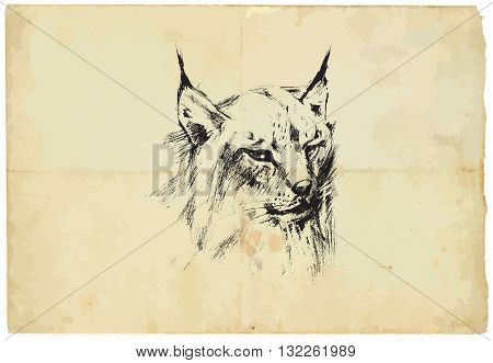 An hand drawn illustration of LYNX - Eurasian Lynx - converted into vector picture. Background old paper is isolated.
