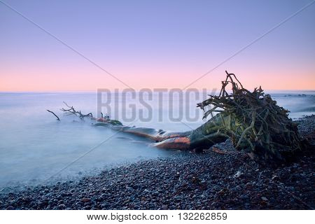 Pink Sky Above Smooth Smoky Water Level. Lonely Fallen  Tree On Empty  Stony Coastline.  Death Tree