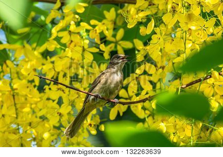 The Bulbul was perched on golden shower tree.