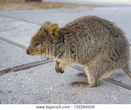 The Quokka is a marsupial that lives on Rottnest Island, Western Australia.