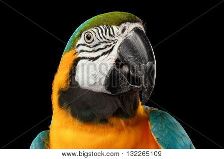 Closeup Portrait of a Blue and Yellow Macaw Parrot Face Isolated on Black Background