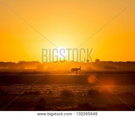 Africa Sunset Impala