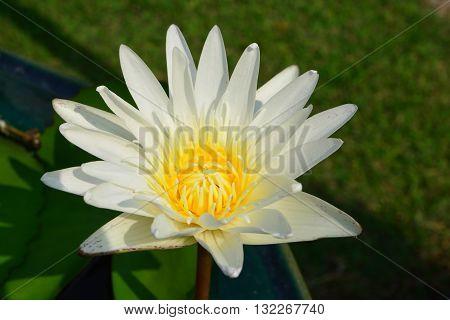 Lotus rare flower. Symbol of purity.closeup lotus