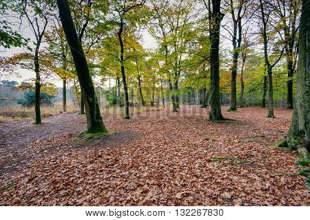 An oak forest with a crooked tree and a bottom covered with lots of brassy fallen leaves