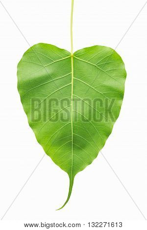 heart shaped green leaf isolated on white background leaf of Bodhi Tree or Sacred tree