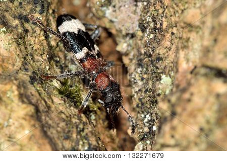 Ant beetle (Thanasimus formicarius). Black and white insect in the family Cleridae, hunting on tree in British woodland