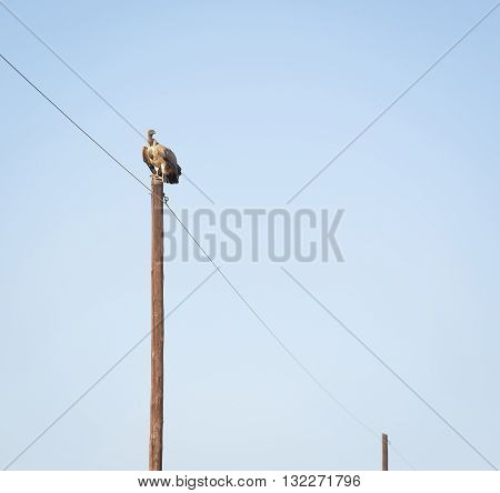Vulture Perched On Pole