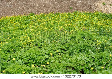 Flowerbed with small yellow flowers and green