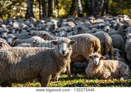 herd of funny cute sheep grazing near green forest