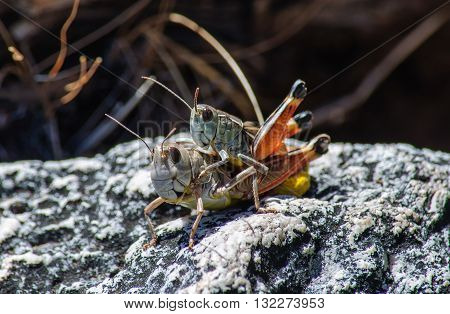 mating grasshoppers, crickets on a rock. macro