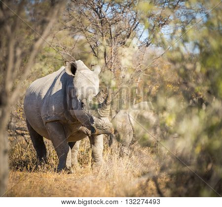 White Rhinoceros Africa