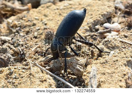 Darkling beetle performing defensive headstand. Insect in the family Tenebrionidae adoption distinctive position in Azerbaijan